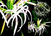 Spider lily-Paavani.jpg